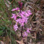 Dipodium roseum Lang Lang NR